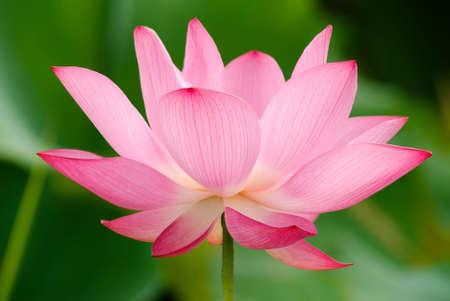 It is the beautiful lotus flower photo. Standard-Bild
