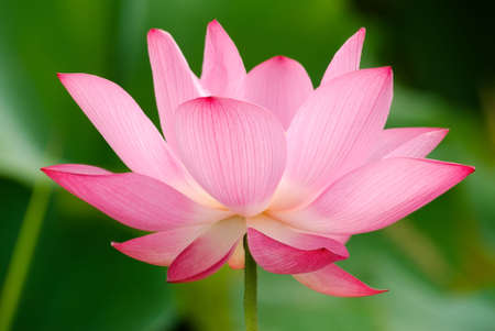 It is the beautiful lotus flower photo. Banco de Imagens