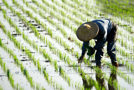 rice harvest: There is a farmer working in the farm.