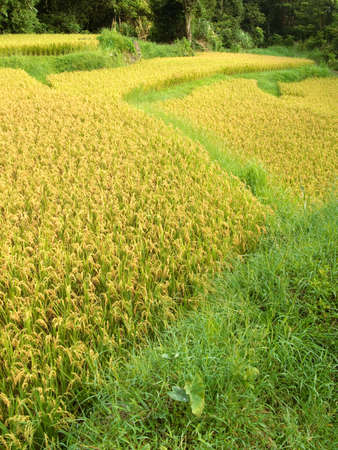 Here are ripe rice with beautiful yellow color. photo