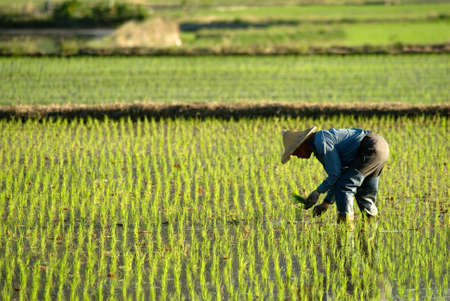 rice plant: There is a famer working in the farm.