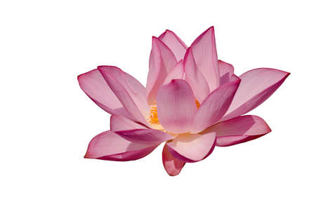 It is a beautiful lotus isolated on the white background. photo