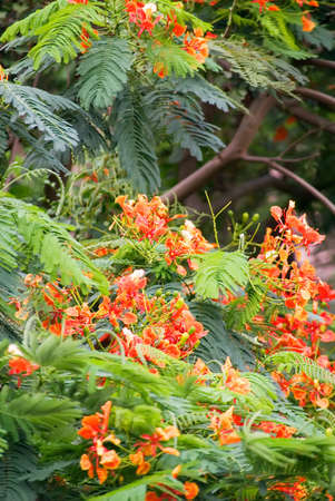 It is beautiful flowers in flame trees. photo