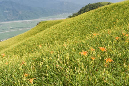 It is beautiful and colorful tiger lily farm. photo