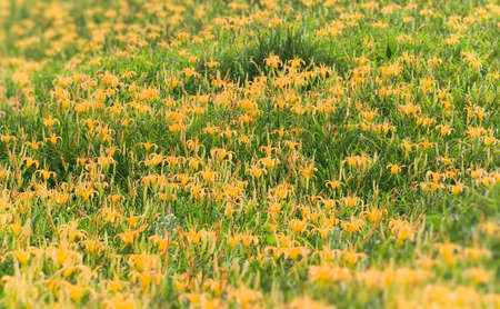 It is beautiful yellow tiger lily farm. photo