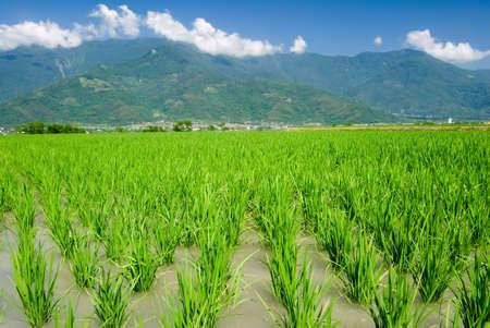 It is Asian beautiful farm with mountain far away. Stock Photo - 5569371