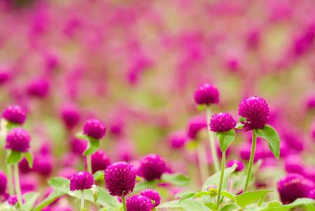 globosa: Here are beautiful purple flowers - gomphrena globosa.