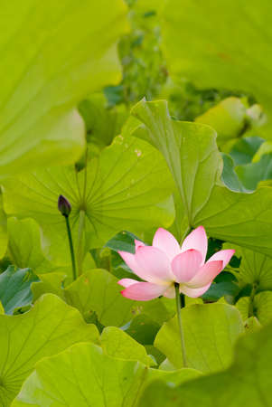 One red lotus surround by green leaf on the water pond. photo