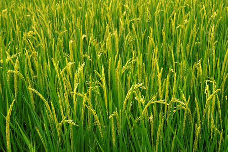 rice crop: Beautiful farm of rice which are grown to harvested. Stock Photo