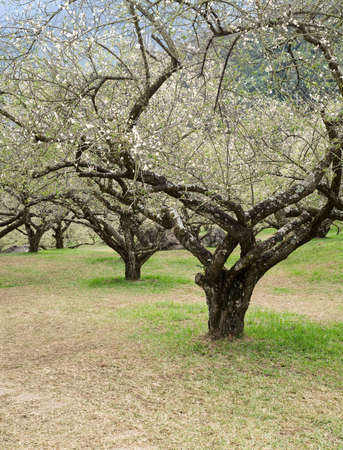 Plum blossom flowers and trees in garden in winter. photo