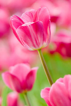 Tulip in garden with pink color and green grass. Stock Photo - 6418220
