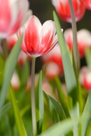 Tulip in garden with red and white color and green grass. photo