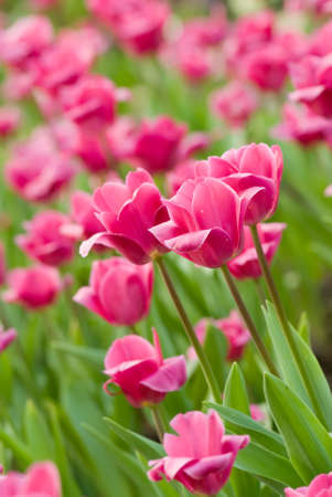 Tulips in flower garden with pink and green color. photo