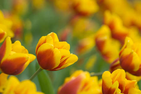 Tulips in yellow color in green garden. photo