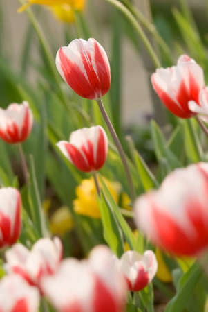 Tulip of white and red in garden of outdoor. Stock Photo - 6480612
