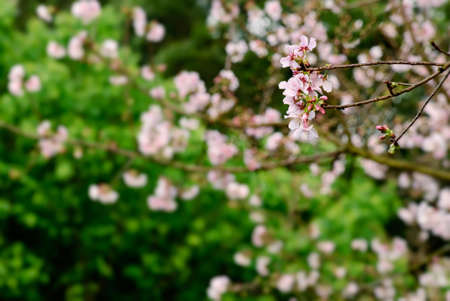 Sakura flowers and branch on green background. photo