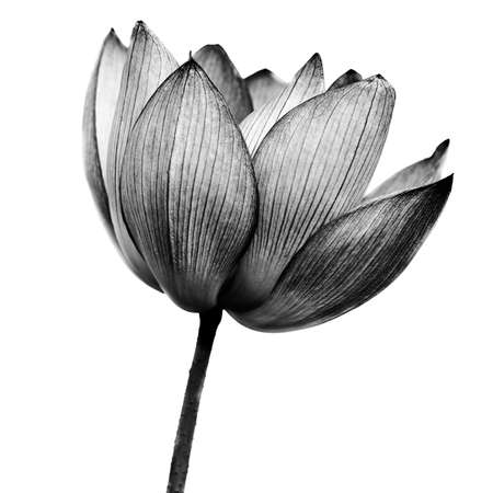 Lotus in black and white on white background.