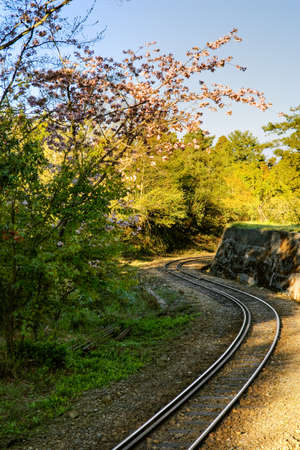 forest railway: Forest railway with sakura cherry blossoms trees and flowers under blue sky in Alishan National Scenic Area, Taiwan, Asia.