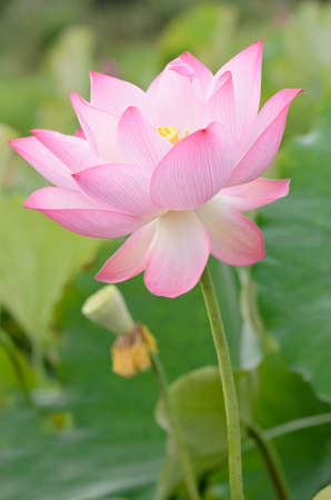 Lotus flower, landscape of nature flora in outdoor with pink and green color in summer. photo