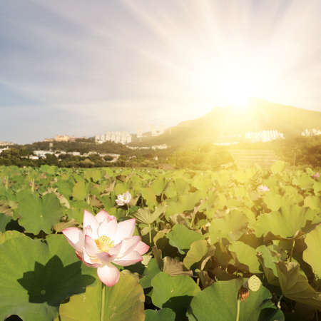 Lotus flowers farm with mountain and sunbeam in sunny day, landscape of nelumbo nucifera flowers. photo