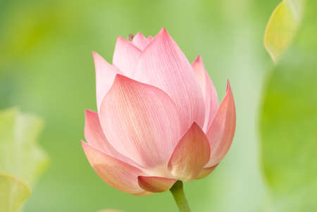 Lotus flower on green background in outdoor. photo