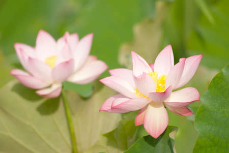 Two lotus flowers in farm in outdoor. photo