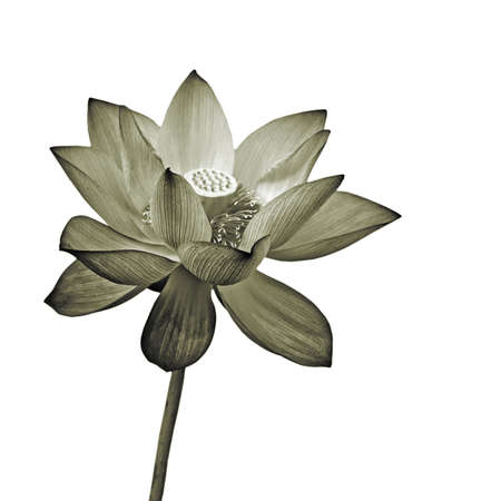 Lotus flower, isolated flora object on white background. photo