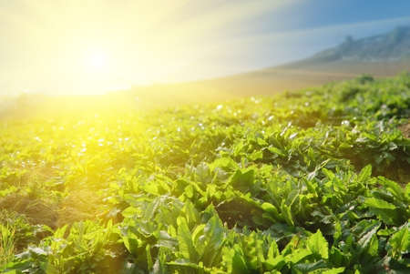 Vegetable farm under sunlight in morning in outdoor in daytime. photo