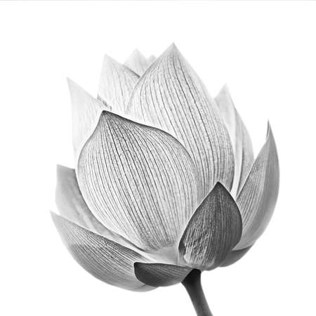 flor de loto: Flor de loto en blanco y negro aislada sobre fondo blanco. Foto de archivo