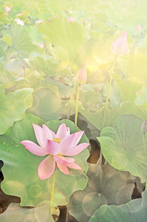 Lotus flowers in garden under sunlight. photo