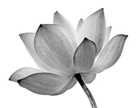blanco: Flor de loto aislado sobre fondo blanco. Foto de archivo