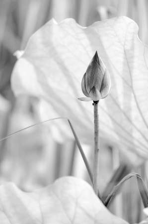 Scenery of lotus flower in the farm in black and white tone. photo