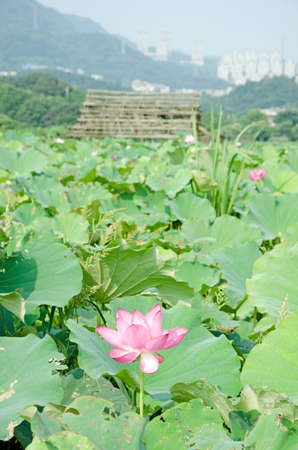 Lotus flower in the farm at daytime. photo