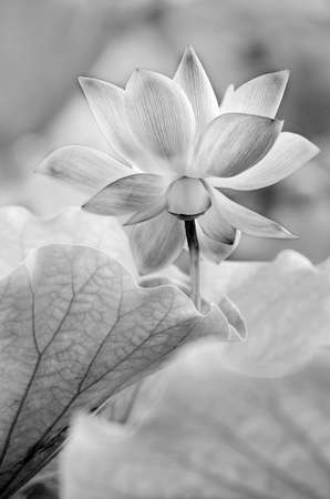 Scenery of lotus flower in the farm in black and white tone. Stock Photo - 21044286