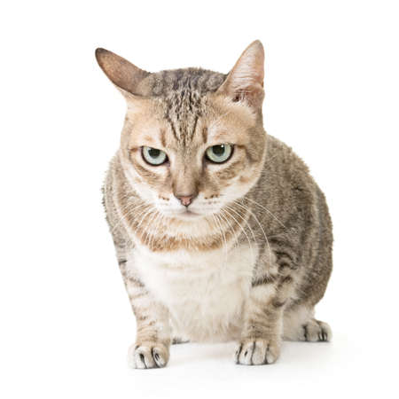 Cute tabby cat with curious expression, full length portrait isolated on white background. photo