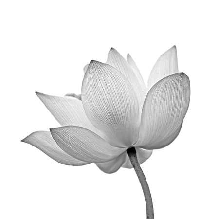 zen: Lotus flower isolated on white.