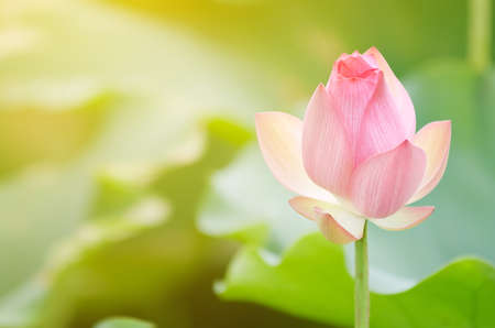 Morning lotus flower in the farm under warm sunlight. Stock Photo