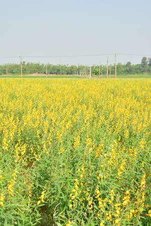 corn fields: Yellow flower fields with sky