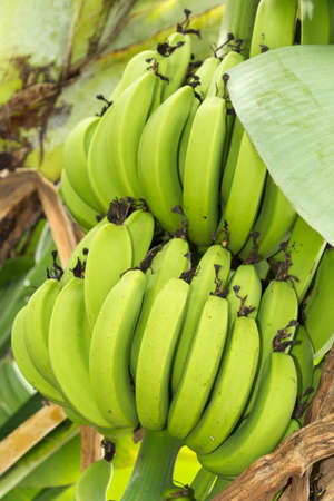 Bunch of ripening bananas on the tree photo