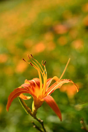 Tiger lily (Daylily) flower close-up photo