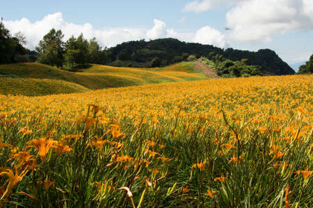 Field of tiger lily flowers. photo