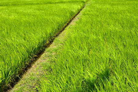 Rice farm with path in the country, Hualien, Taiwan, Asia photo