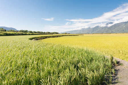 agriculturalist: Rural scenery of Hualien with paddy farm and mountain faraway, Taiwan, Asia.