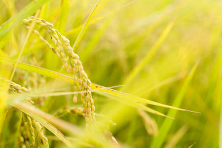 agriculturalist: Golden paddy rice farm, closeup image with shallow depth of field.