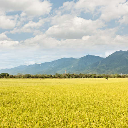 Rural scenery with golden paddy rice farm under sky in Taiwan, Asia.