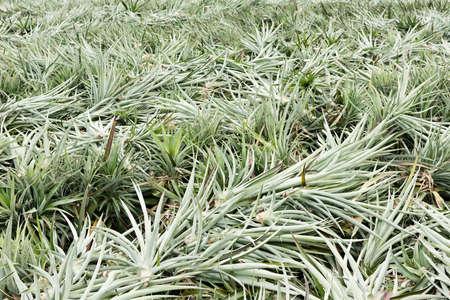 pineapple tree: Granja de la pi�a despu�s de la cosecha dej� las hojas del �rbol de la pi�a en Taitung, Taiwan, Asia.
