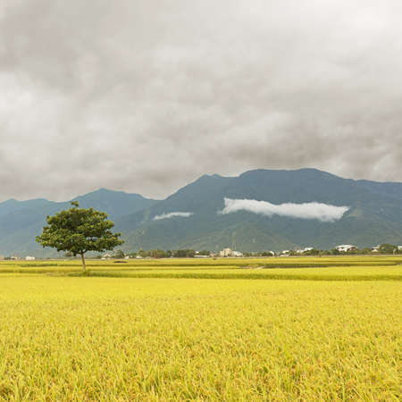 agriculturalist: Rural scenery with golden paddy rice farm in Taitung, Taiwan, Asia.