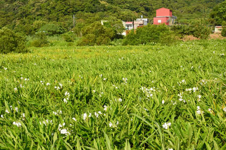 lillies: Ginger lily farm, photo shot at Manzhou Township, Pingtung County.