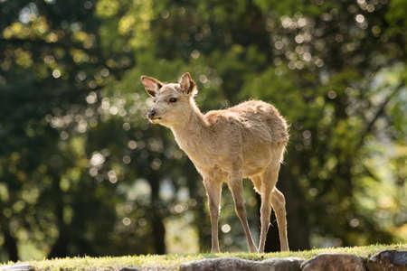 nara park: Deer in Nara park, Japan, Asia.