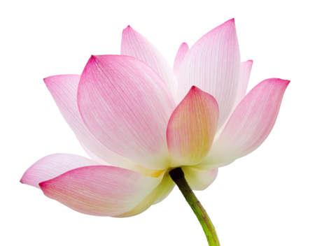 Flor de loto aislado sobre fondo blanco. Foto de archivo - 29672634